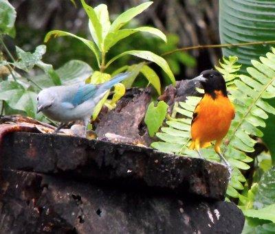 BIRDtanageroriole.jpg