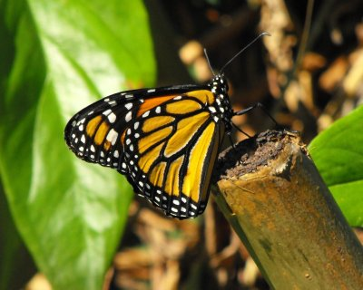 BUTTERFLYmonarch.jpg