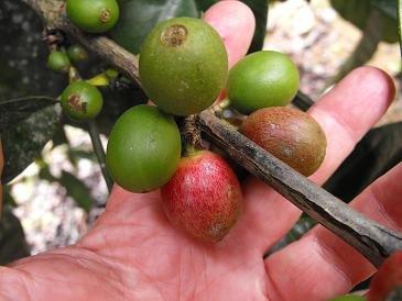 CATIE coffee beans
