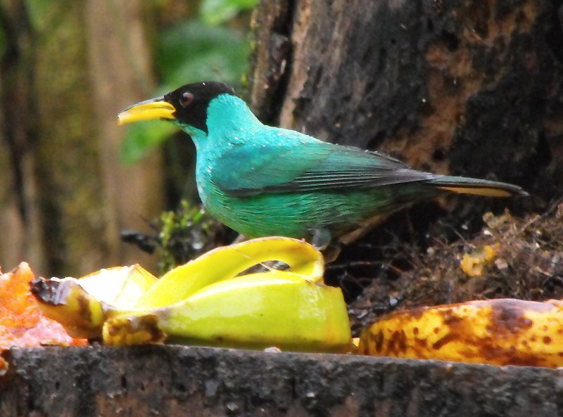 BIRDING green honey creeper