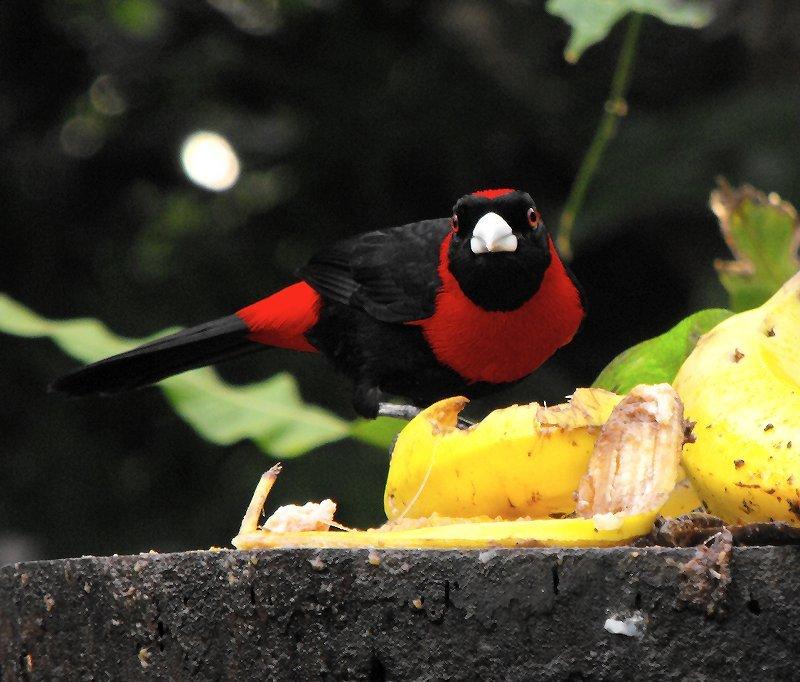 BIRDING tanager