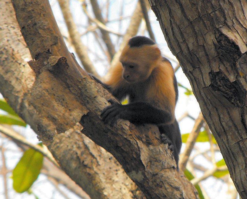 CABO BLANCO capuchin monkey 02