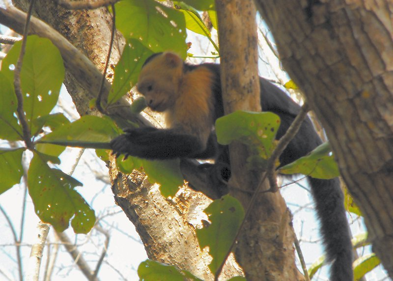 CABO BLANCO capuchin monkey 01