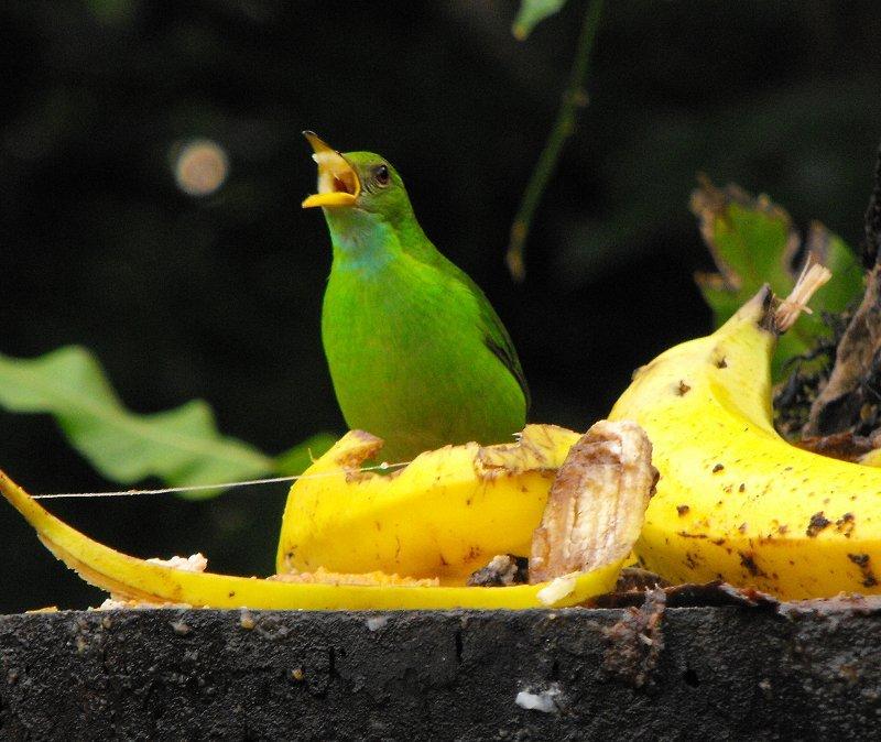 BIRDING green shrike vireo