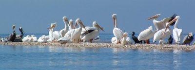 pelicanscedarkey.jpg