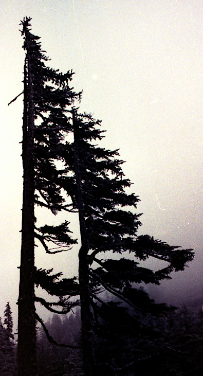 trees in mt. rainier