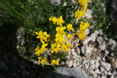 wildflowers, sugarska peak