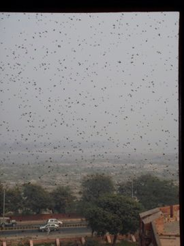 swarm if angry bees at red fort agra india