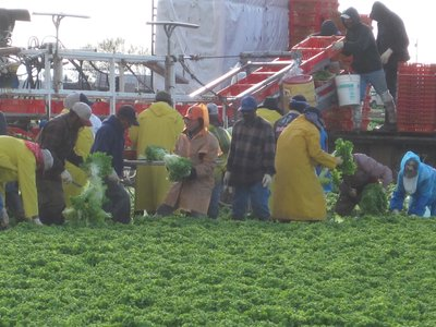 Mexicans harvesting lettuce in Yuma