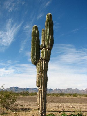 A lonesome cactus
