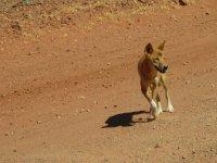 Dingo_Traveler.jpg