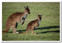 Kangaroos_.._SA_006.jpg