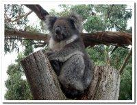 Koala__Kan..and__SA.jpg