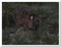 Wombat__Cr..in_N_P_.jpg
