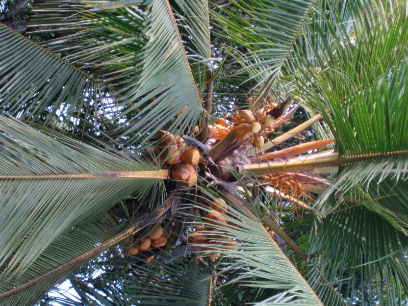 King coconut tree