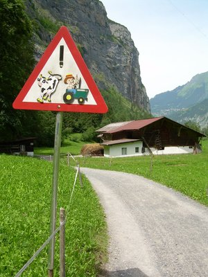 Watch out for cows!