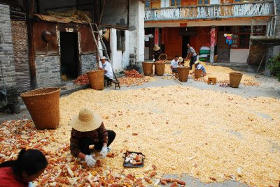 drying corn2