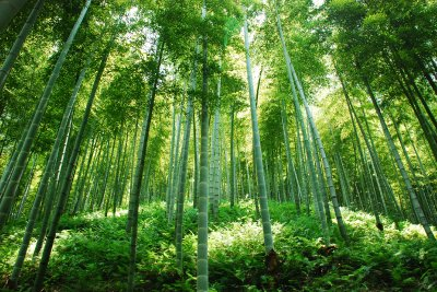 bamboo forest2