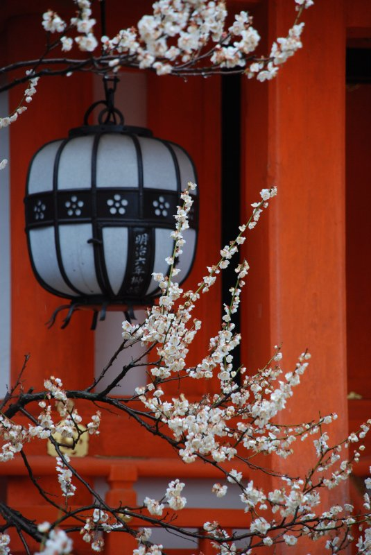 blossoms and lantern