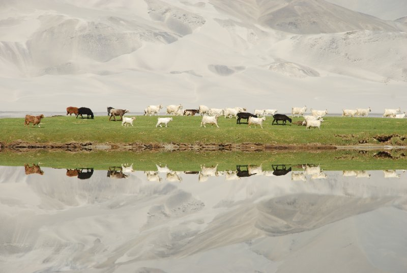 reflection of sheep
