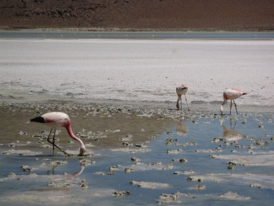 Flamingos in the salt lakes