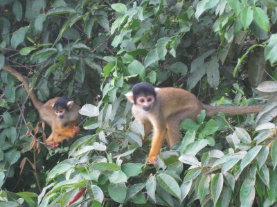 Yellow Squirrel Monkeys