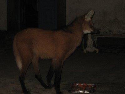 Lobo guara (Maned Wolf) feeding on the steps of the church