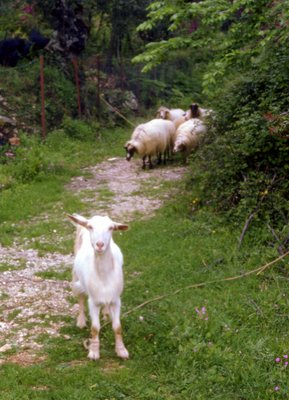Corfu Goat and Sheep