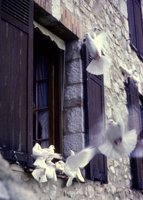 Doves in St Paul