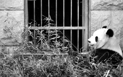 pandaBW.jpg