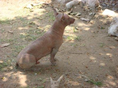Peruvian_h..dog__2_.jpg