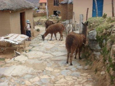 llama hurding