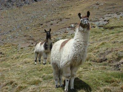 llamas (2)