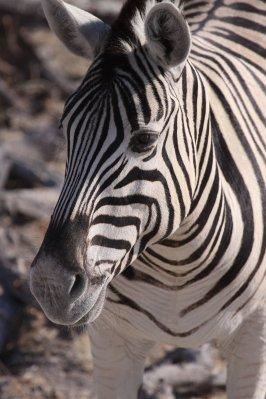 ENP_Zebra_face.jpg