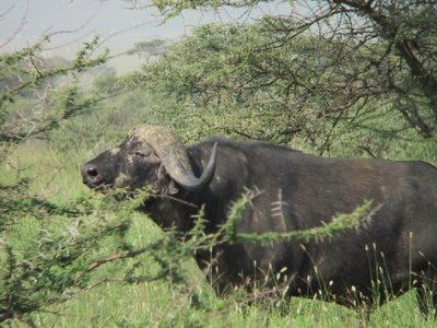 African cape buffallo