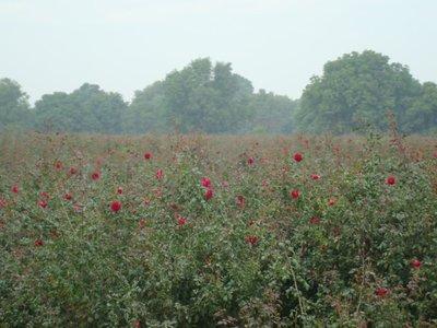 Red Rose  Farm!