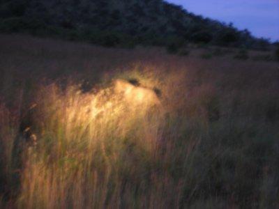 Male lion in high grass stalking prey in Pilanesburg Park near SunCity