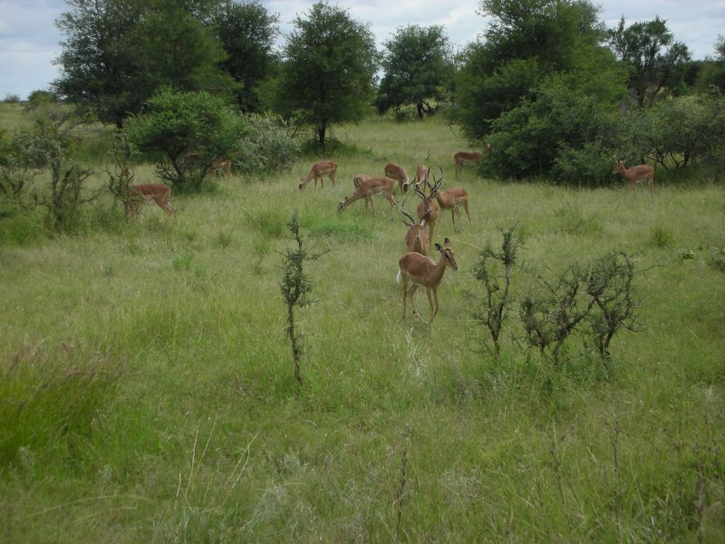 Impalas in Kruger National Park-South Africa