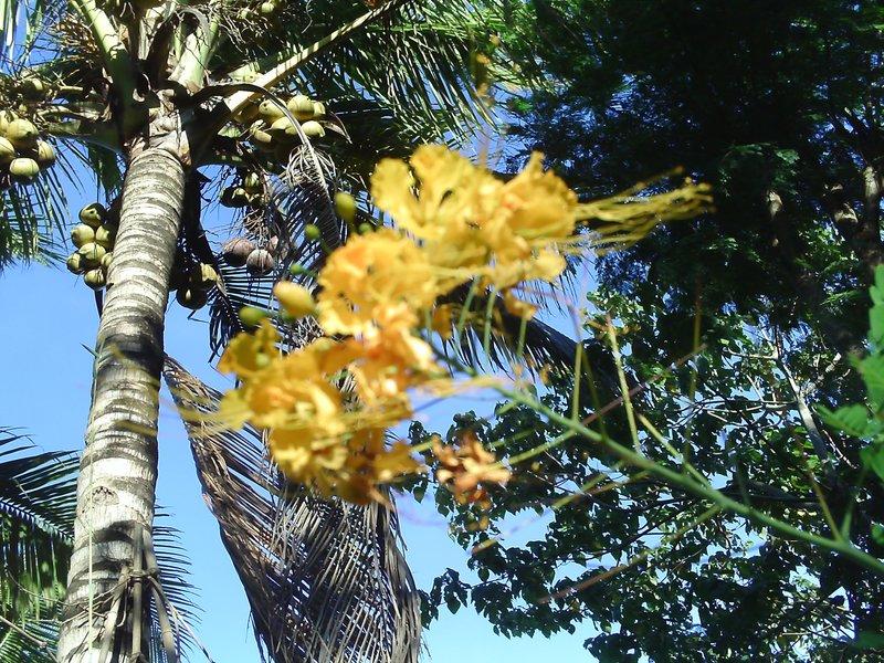 calliandra macrophylla