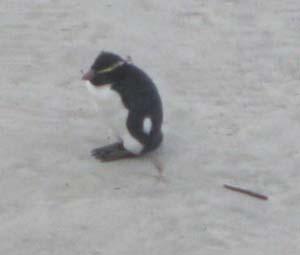 fiordland-penguin.jpg
