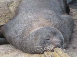 sleepy-seal.jpg