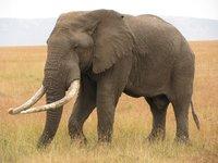 Elephant_1_.jpg