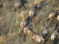 Wildebeest_2_.jpg