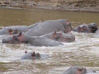 hippos_1_.jpg