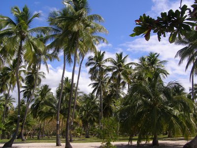 Palms lining beach at Boquern