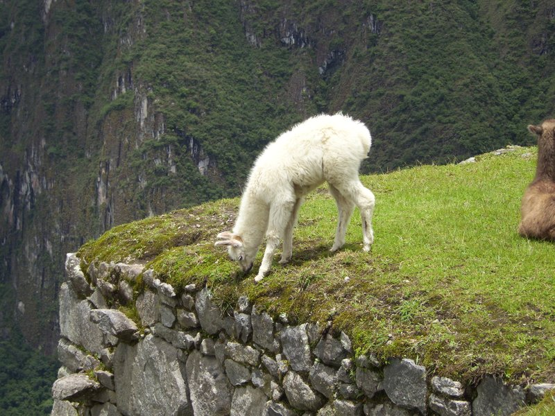 Baby Alpaca living on the edge