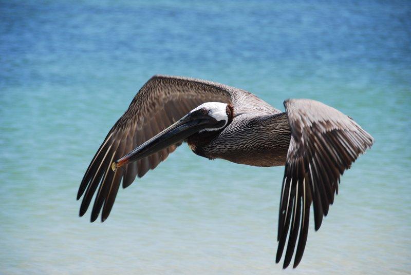 pelican in flight 1