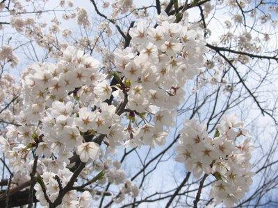 Sakura in Akita