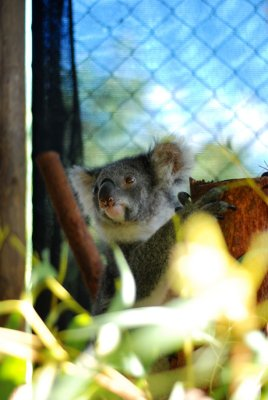 Perth [day four] koala