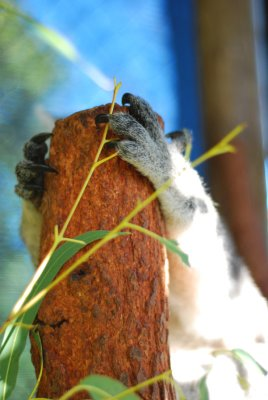 Perth [day four] koala paws